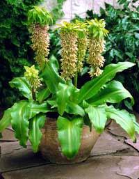 Эукомис (растение-ананас)