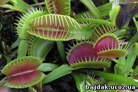 Дионея мухоловная (Dionaea muscipula)