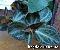 Пеперомия бархатистая (Peperomia velutina)